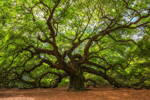 Old Angel Oak Tree 1256x838